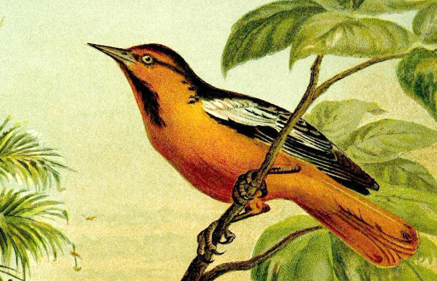Oriole, both a bird and the name of O'Reilly's new Online Tutorials.