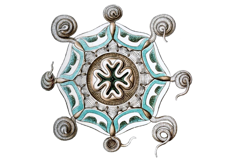 Medusa of Aeginura myosura by Erns Haeckel