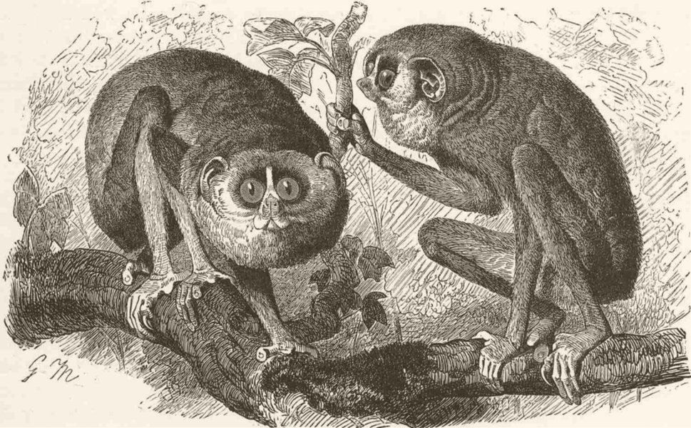 This illustration of slender lorises was used on the cover of one of O'Reilly's earliest animal books, sed & awk.