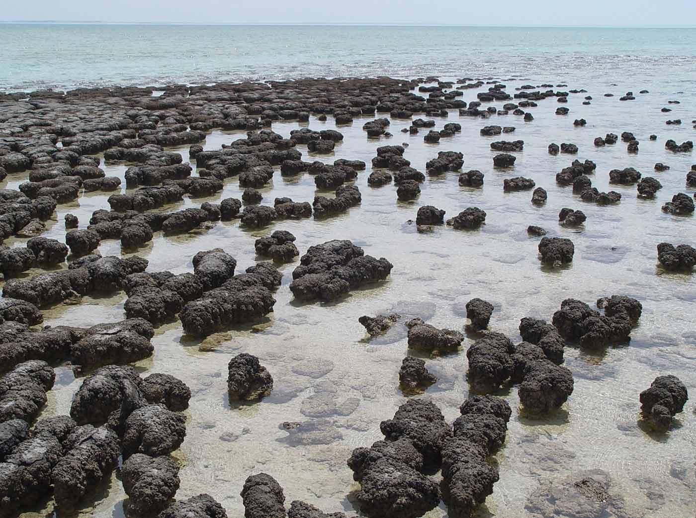 Clusters of stromatolites growing in Hamelin Pool Marine Nature Reserve, Shark Bay in Western Australia.