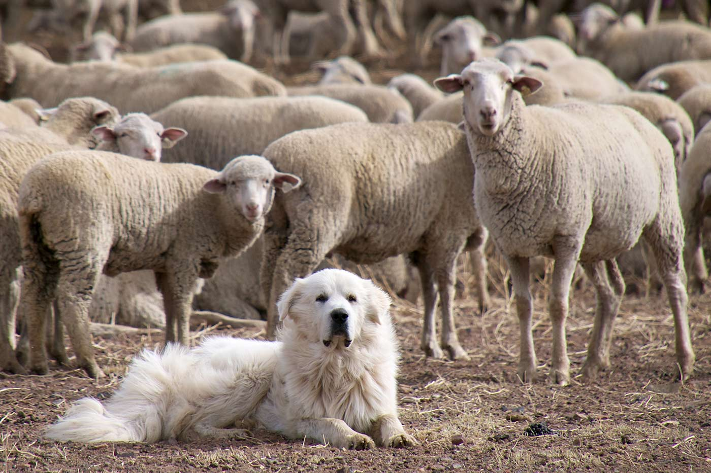 Great Pyrenees sheep dog guarding the flock.