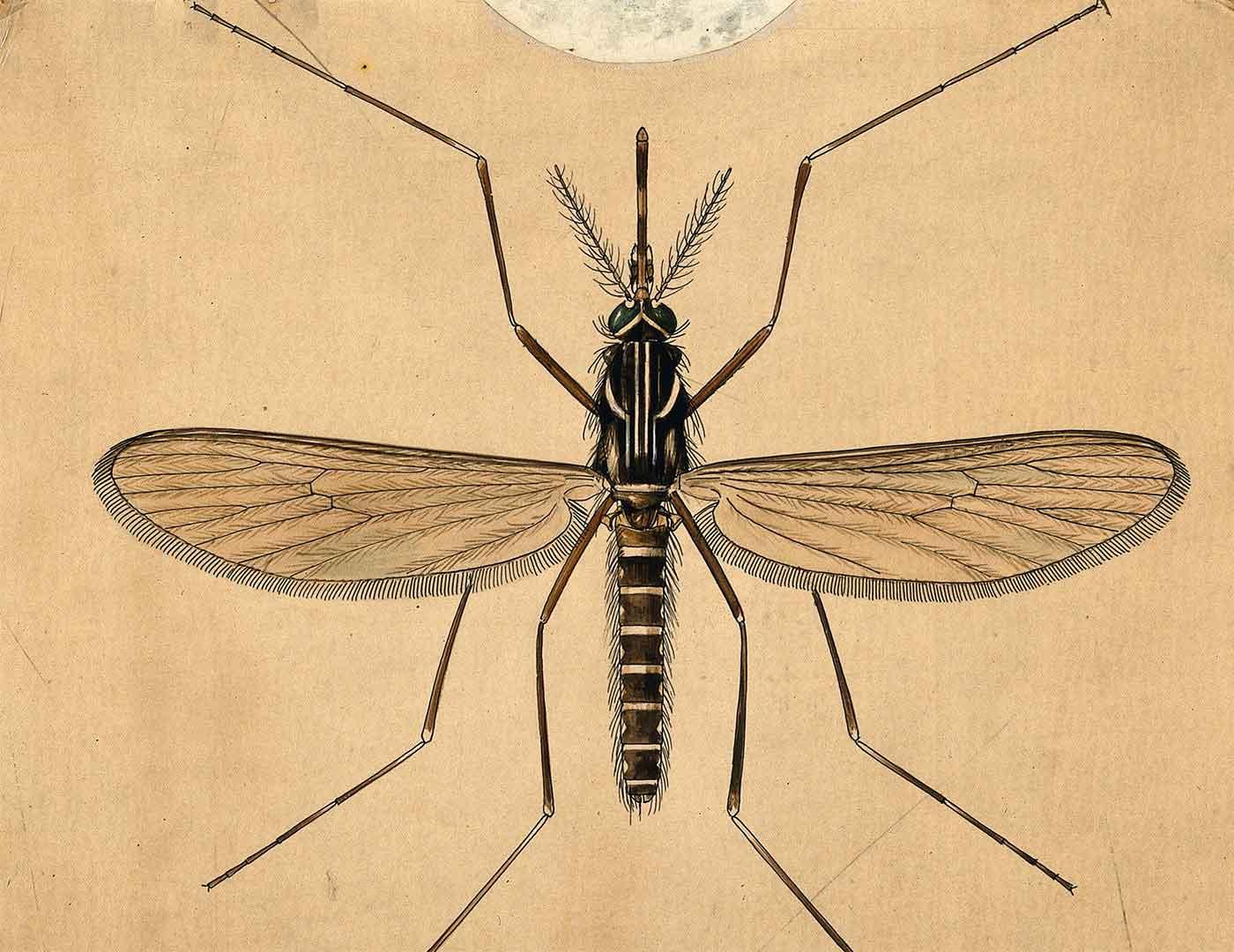 A mosquito (Aedes aegypti), by A.J.E. Terzi.