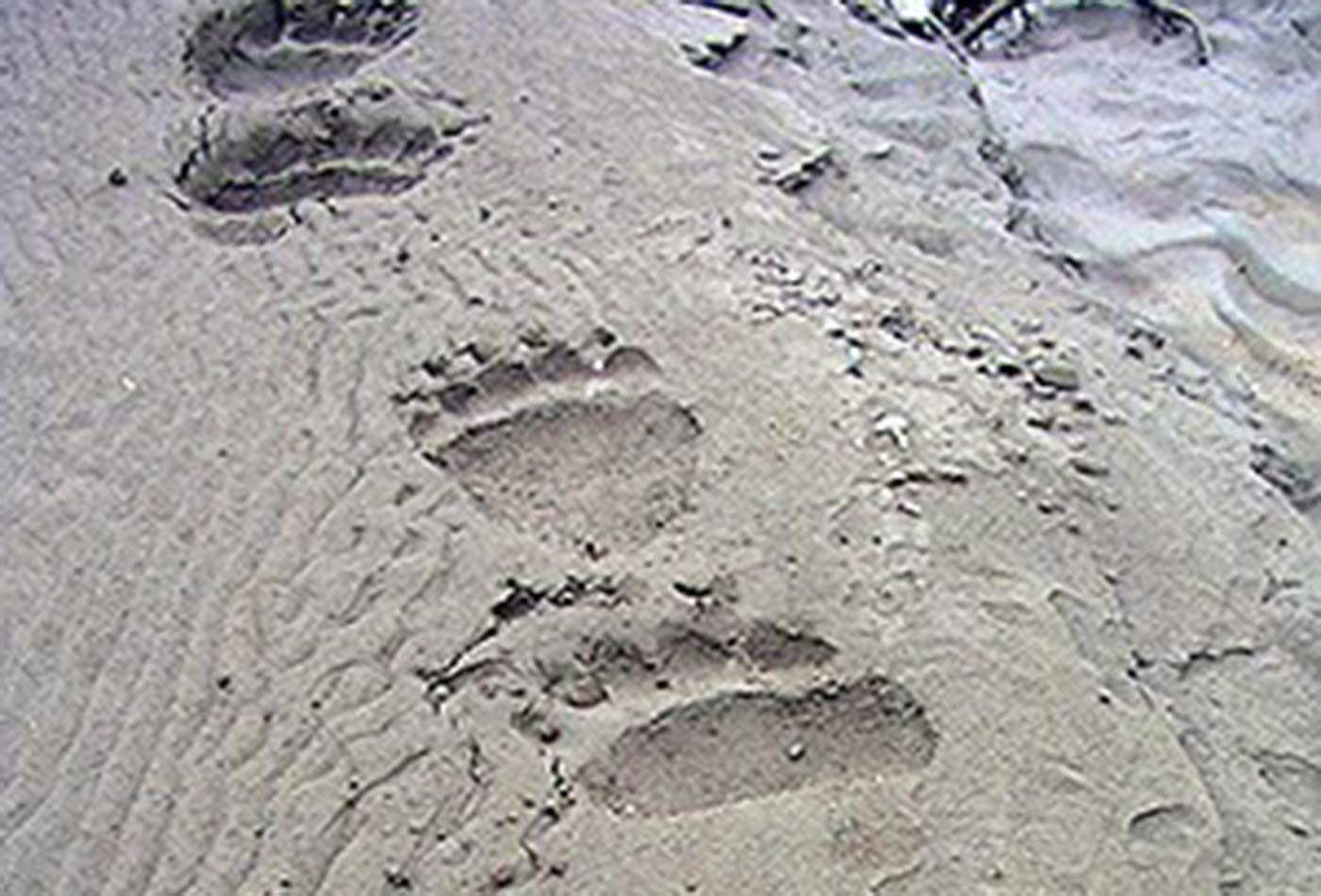 Brown bear tracks, Gates of the Arctic National Park and Preserve