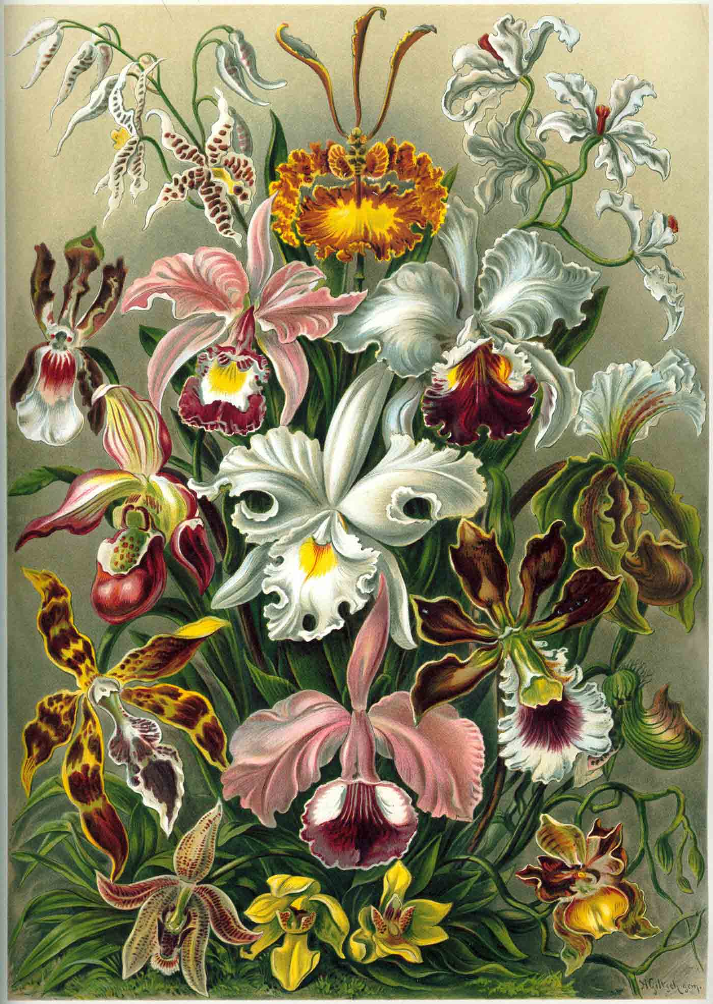 "From from Ernst Haeckel's ""Kunstformen der Natur"" of 1899. Darwin noted that orchids exhibit a variety of complex adaptations to ensure pollination."