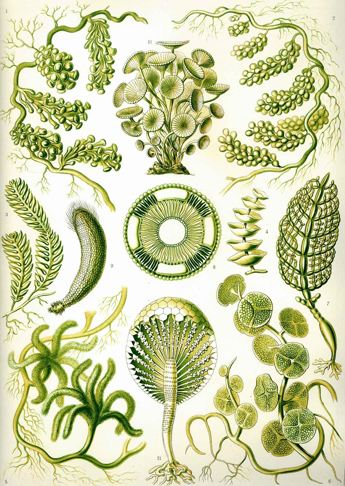 """""""Kunstformen der Natur"""" (1904), plate 64: Siphoneae"""