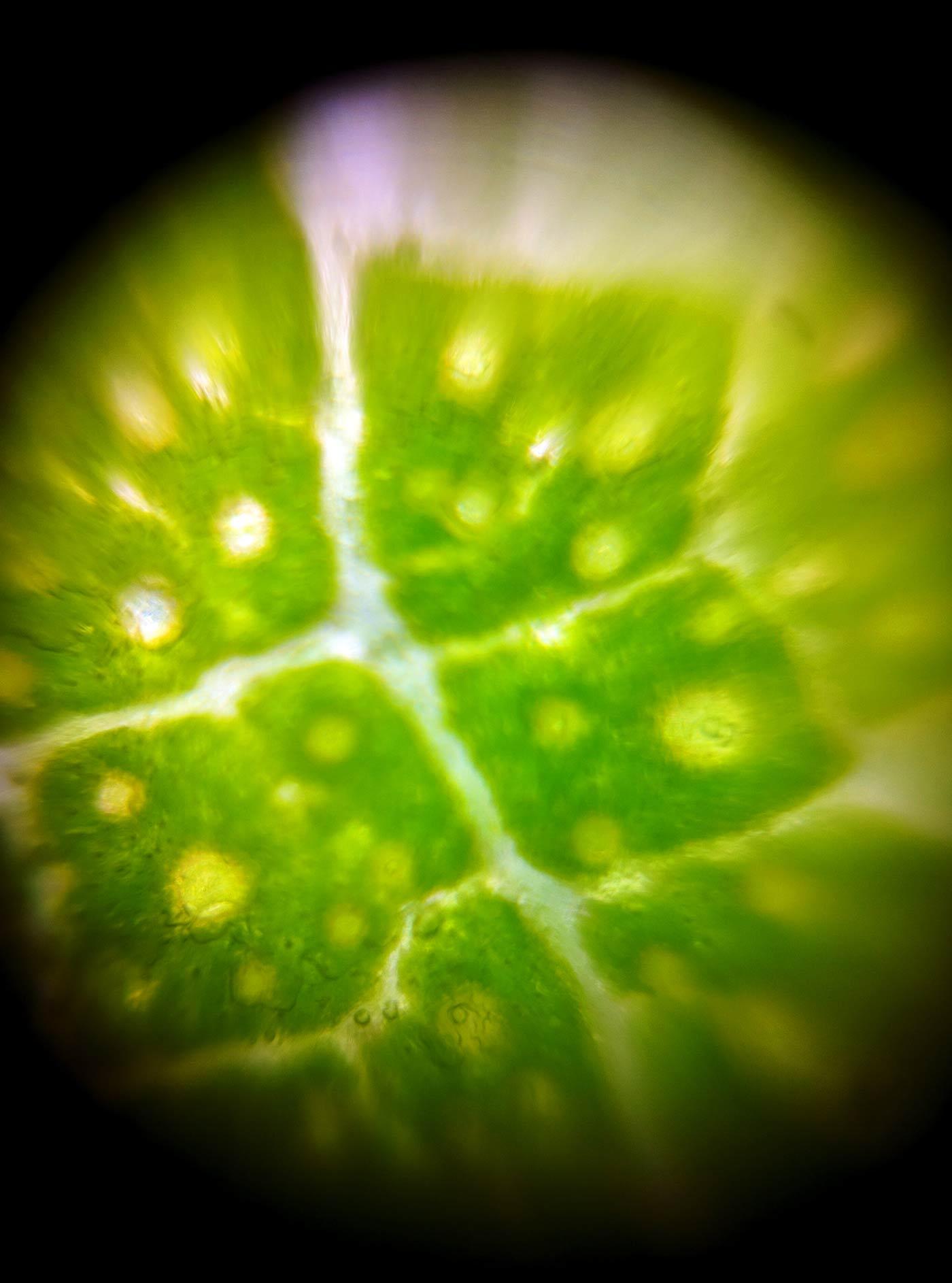 eucalyptus leaf through the Foldscope