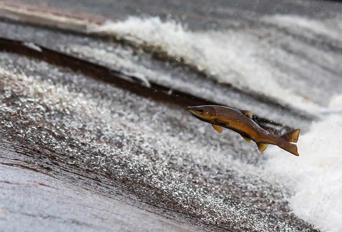 Salmon run.