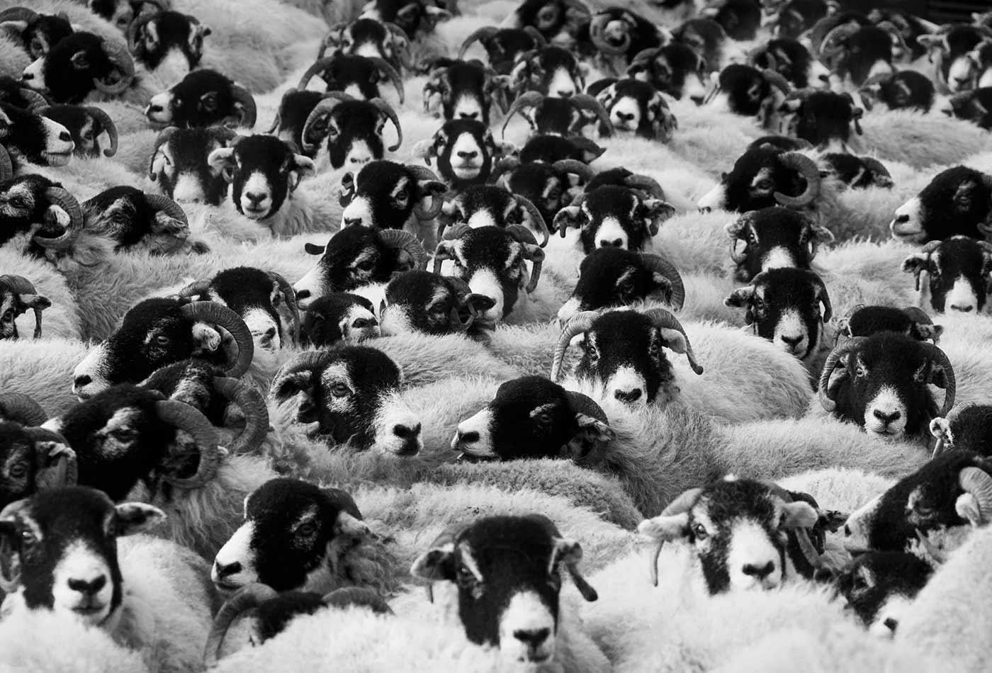 Herding the crowd.
