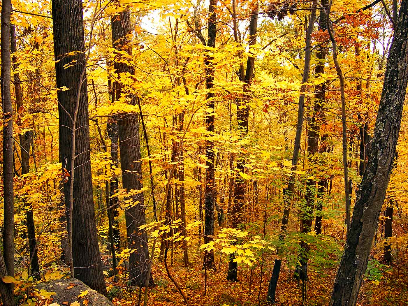 Forest with yellow foliage