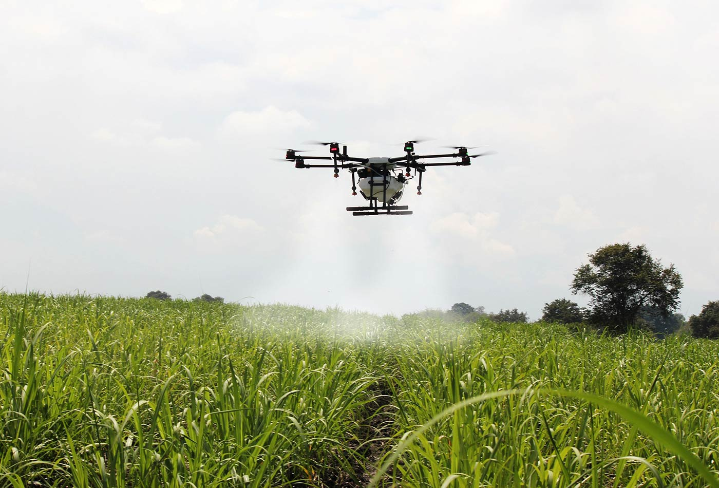 A drone sprays sugar cane