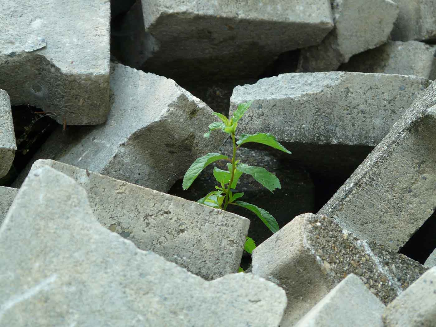 Weed amidst concrete