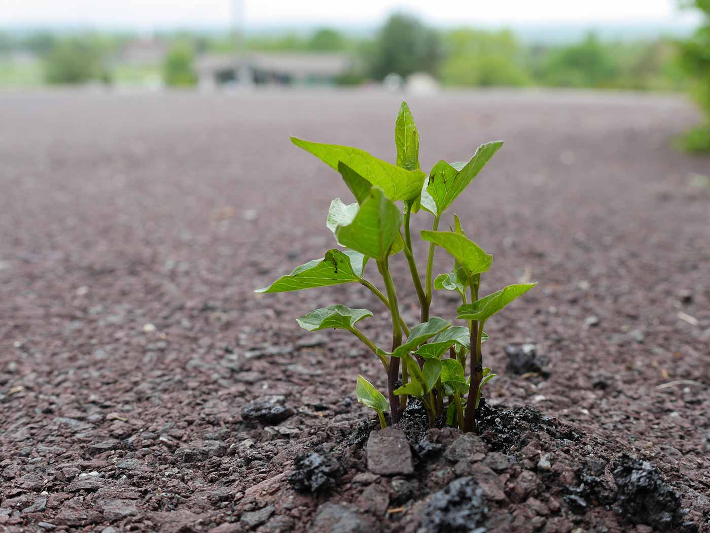 Bindweed plant breaking through asphalt