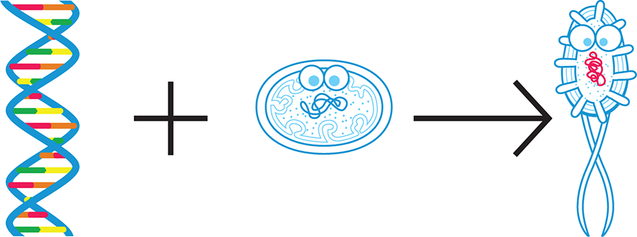 Synthetic biology today. Currently, synthetic biologists generally design a portion of DNA (left) and combine it with an existing cell or organism (middle) so that the new cell or organism (right) behaves according to design specifications.