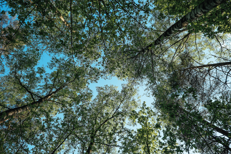 Photograph of trees taken from ground upwards to the tree tops at blue sky.