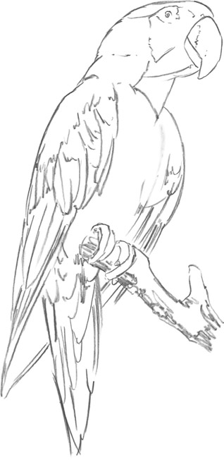 Parrot drawing outline - photo#21