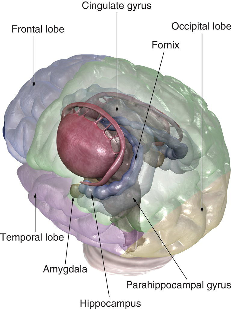 An image of the structures of the limbic system from a superior posterolateral view. Cortical areas appear semitransparent and in different colors denoting different brain regions.