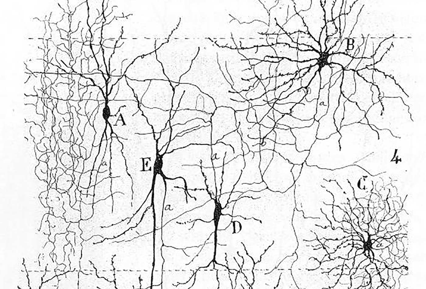 "From ""Texture of the Nervous System of Man and the Vertebrates"" by Santiago Ramón y Cajal, 1898."