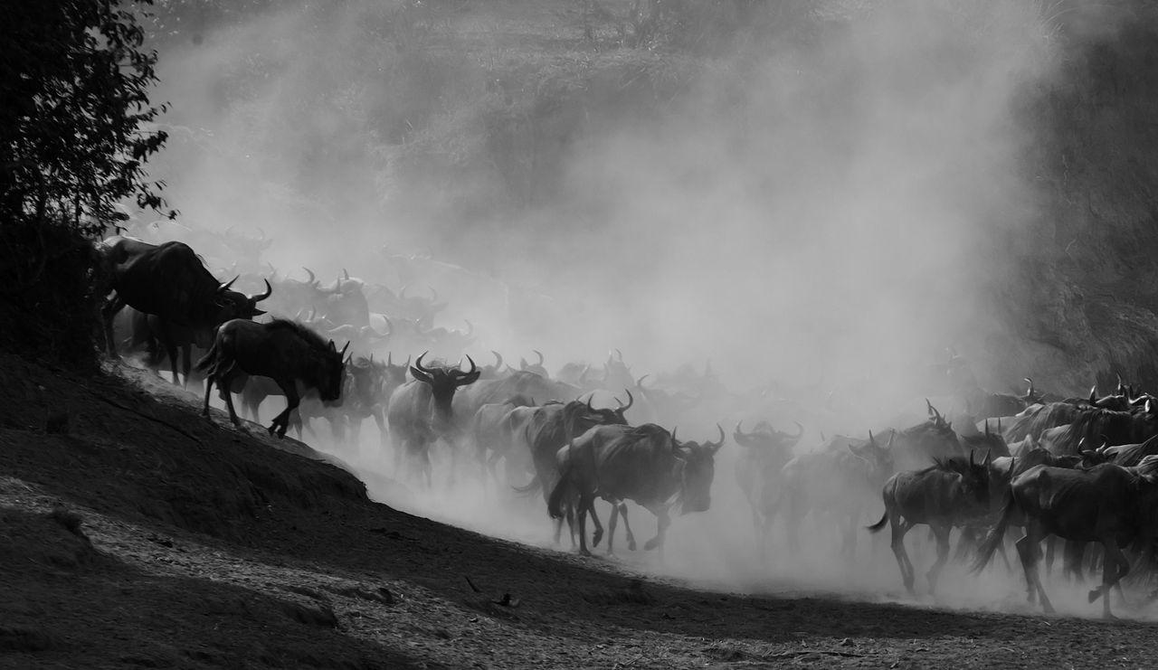 Masai Mara Stampede