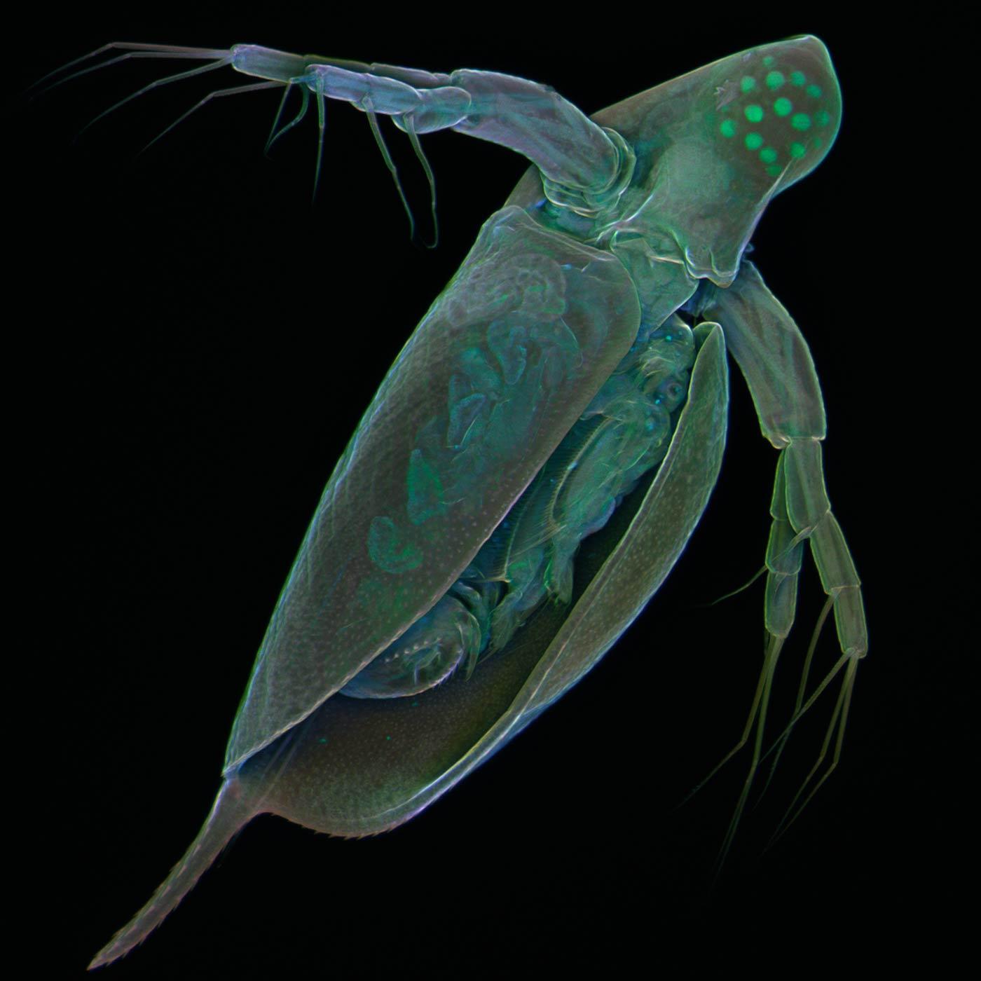 The freshwater crustacean Daphnia