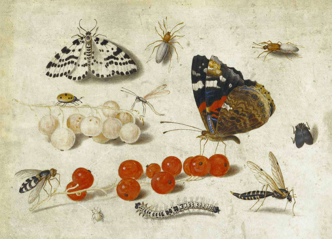 Butterfly, Caterpillar, Moth, Insects, and Currants; Jan van Kessel II